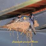 Schwalbenmutter mit Jungen am Nest