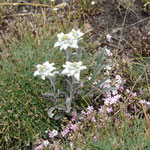 Edelweiss auf dem Colle La Petit Turra