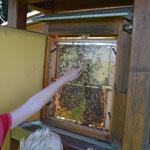 Imkerverein Nordschaumburg pflegt den Bienenschaukasten