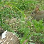 Le lapin qui mange nos salades !