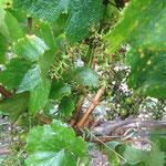 la rafle et peut être des raisins non murs restent sur la vigne