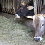 """Glückliche """"Demeter-Kühe"""" MIT Hörnern - Rimpertsweiler Hof"""