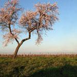 Die bezaubernde Pfälzer Mandelblüte