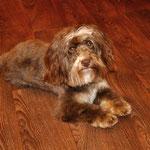 Romeo mein Abschlußhund, nach Kundenwunsch geschnitten