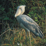 Shoebill à Bangweulu marsh