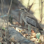 Spotted Thick-knee à south Luangwa NP