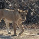 Lionne à south Luangwa NP