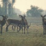 Black Lechwe à Bangweulu marsh