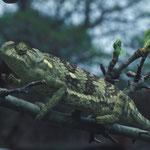 Flat-necked Chamaleon à Nkanga conservation area