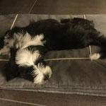 typische Tibi-Schlafhaltung