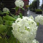 30.アジサイ(白)、アナベル(撮影者S.N.)