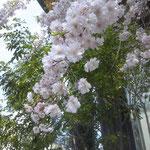 142.シダレザクラ(撮影者S.N.)
