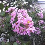 73.サルスベリ(撮影者S.N.)