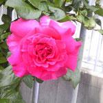 157.バラ(撮影者S.N.)