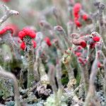 Apothecien der Cladonia