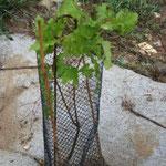 reprise du Quercus Robus