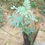 Reprise du Sorbus Domestica