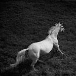 Cancara der Pascha des Hauptgestütes Trakehnen - © Hein Gorny - Collection Regard