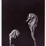 Hein Gorny (1904-1967) - Untitled (Seahorses) - 1934 - Gelatin silver print, printed ca. 1934 - 22 x 16,1 (22,5 x 16,6) cm - © Hein Gorny / Collection Regard