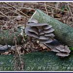 Austernseitlinge (Pleurotus ostreatus) benötigen Frost, um ihre Fruchtkörper auszutreiben, 26.12.2017, Darß/Mecklenburg-Vorpommern.