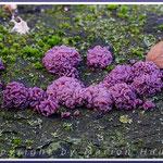 Fleischrote Gallertbecher (Ascocoryne sarcoides) liebt totes Buchenholz und erscheint oft in tief violetten Kleid, 14.11.2019, Darß/Mecklenburg-Vorpommern.