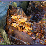 Schon etwas ältere Goldfell-Schüpplinge (Pholiota aurivella) haben es sich in einem abgestorbenen Stamm bequem gemacht, 19.11.2016, Darß/Mecklenburg-Vorpommern.