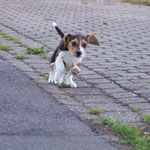 Beaglewelpe Dooley mit fliegenden Ohren