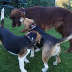 Spielespaß mit Beagle