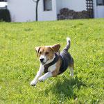 Beagle Dooley running