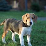 Beagle Dooley