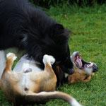 Beagle Dooley im Kämpfchen