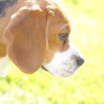 Beagle Gretel