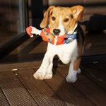 Beagle Dooley beim Spielen
