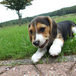 Beaglewelpe Dooley