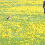Beagle im Löwenzahnfeld