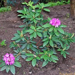 Rhododendron, Foto: skb2010