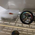 Furcifer pardalis incubation