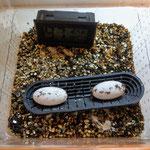 Correlophus ciliatus eggs