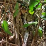 Furcifer pardalis mating