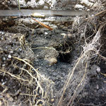 Furcifer pardalis laying eggs