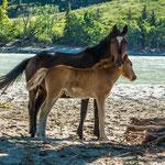 haben Pferde am Strand gefunden