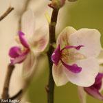 exklusive Orchidee Bluama Hüsli Bad Ragaz