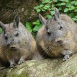 Les viscaches, sortes de lapins à queue d écureuil, bien tranquille au Machu Picchu