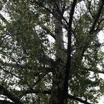 ein Baum, der aus zwei Baumarten besteht, auch wenn man das leider hier nicht so gut sehen kann :(