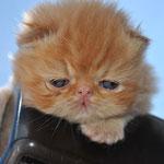 persa madrid criadero gato