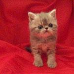 criadero gatos persas