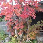 紅葉が綺麗なので