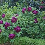 Chinesische Pfingstrose (Paeonia lactiflora)