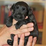 Die kleinen Zwergschnauzer, drei Wochen alt