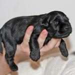 Die kleinen Zwergschnauzer, zwei Wochen alt